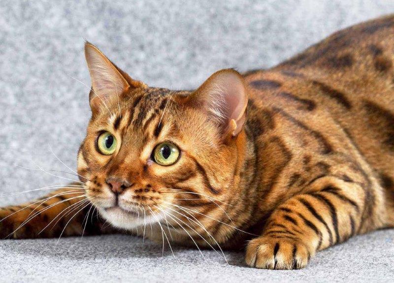 Стоит ли стерилизовать кошку и кастрировать кота? Какие могут быть осложнения для кота после кастрации, а для кошки после стерилизации?