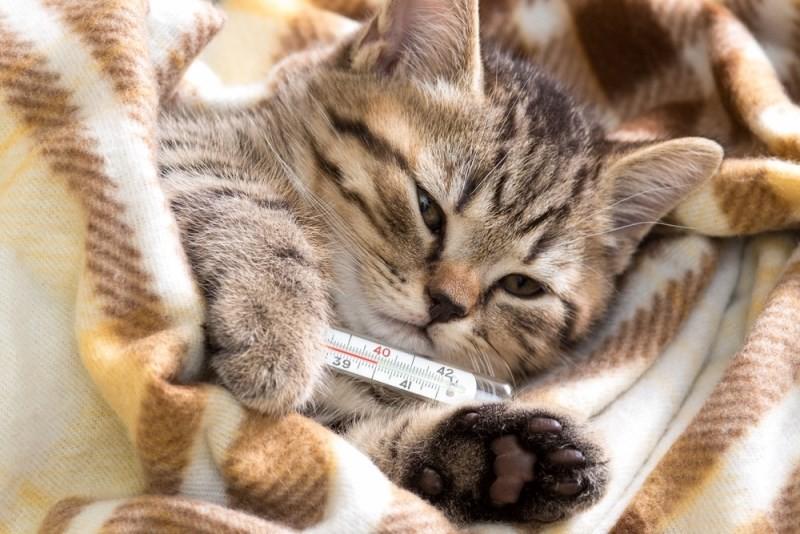 Температура у кошки после стерилизации что делать при высоких и низких показателях