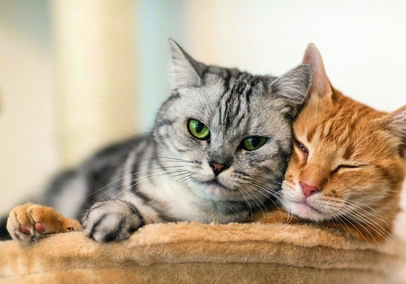Может ли кастрированный кот хотеть кошку?