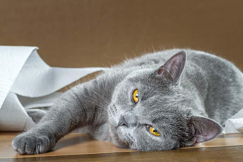 Лечение запора у кошки в домашних условиях