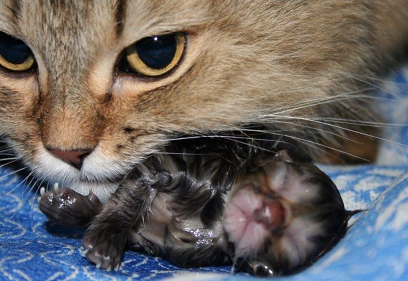 Как начинаются роды у кошек как не пропустить первые этапы процесса