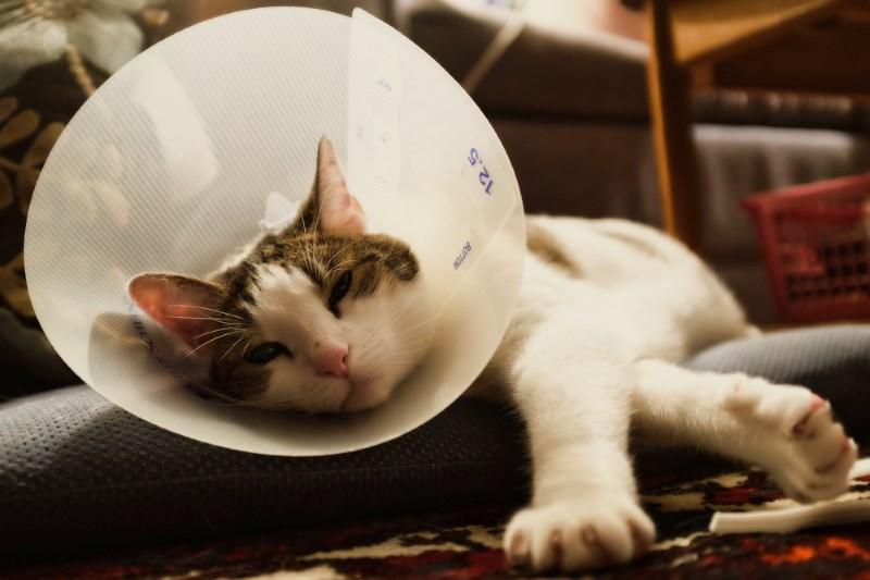 Возможные осложнения у котов после кастрации