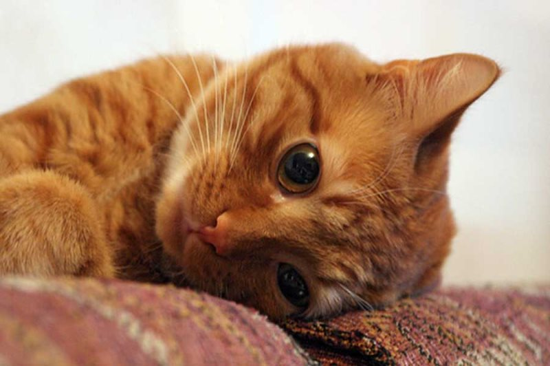 Как колоть окситоцин при родах кошки