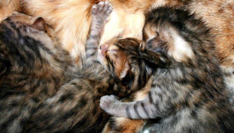 На каком сроке появляется молоко у кошек