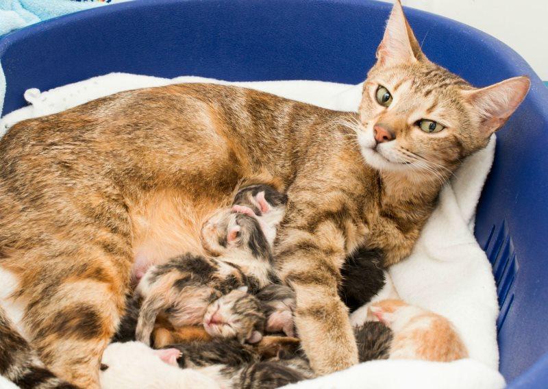 С какими промежутками рожает кошка