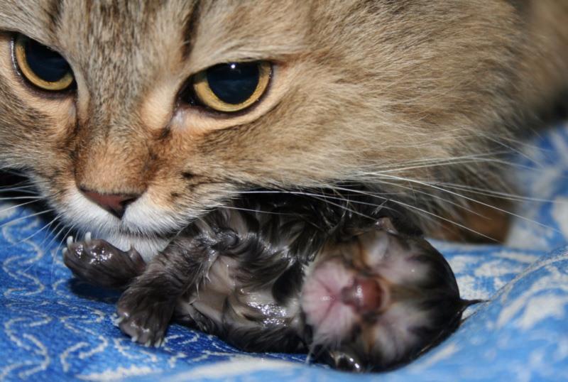 Сколько времени длятся роды кошки