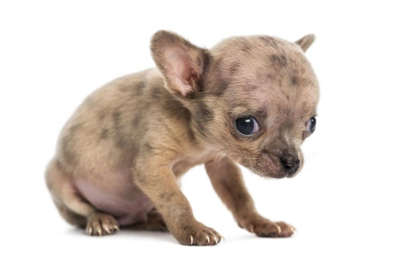 От глистогонного может быть понос у щенка thumbnail