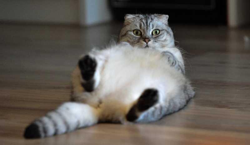 Как понять что кошка скоро родит