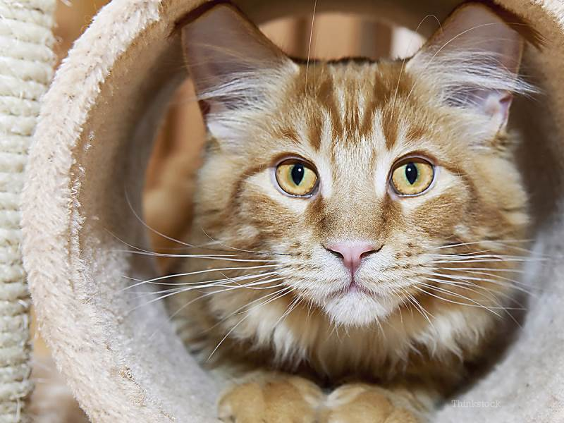 Через сколько дней кошка отходит от стерилизации. Поведение и самочувствие кошки после стерилизации