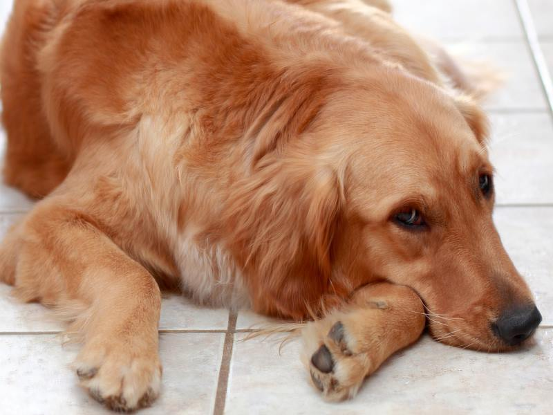 У собаки болит живот: симптомы, что делать, как понять