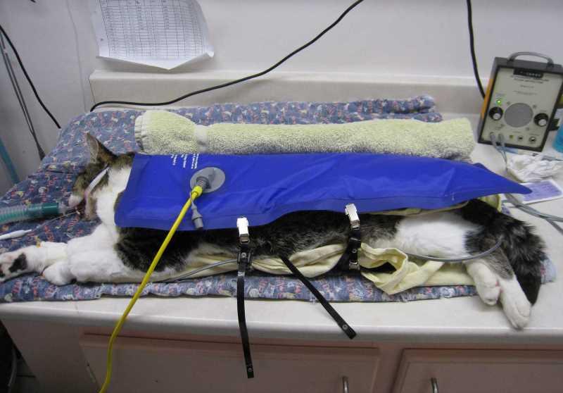 Наркоз для кошек противопоказания