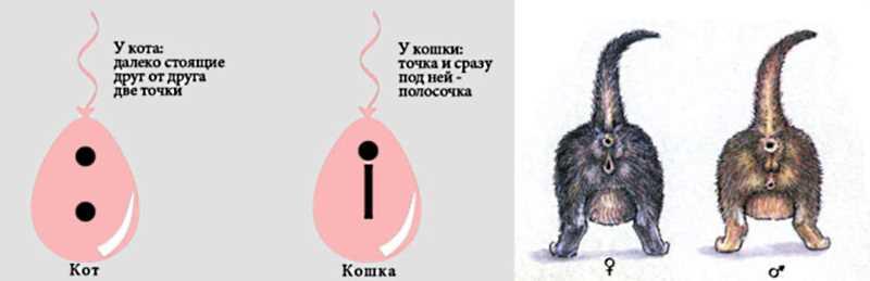 Кошка или кот как различить