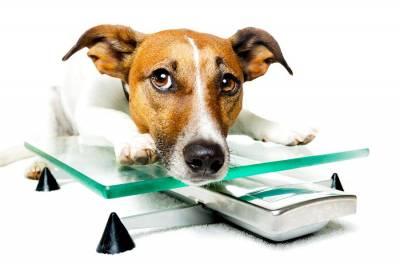 Ожирение у собак: причины и методы борьбы с лишним весом