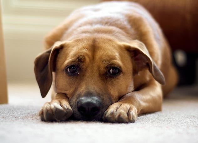 течка у собаки началась через 3 месяца