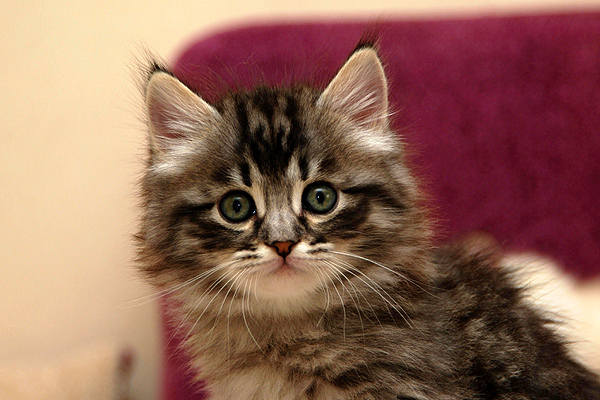 Диагностика и лечение микроспории у кошек