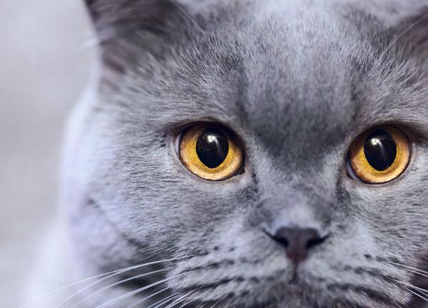 Дерматит у кота симптомы и методы лечения