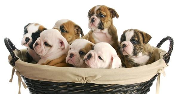 Как принимать роды у собак мелких пород?