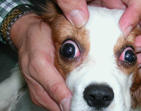у собаки красные глаза что это значит