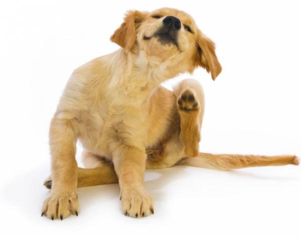 Почему чешется собака если нет блох: причины, симптомы, лечение