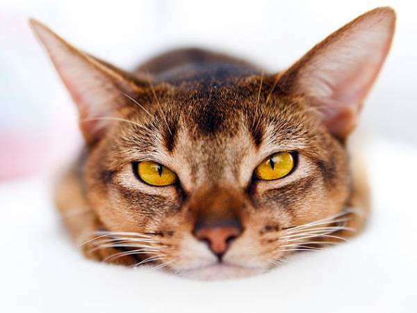 Как выходят глисты у кошек после глистогонных