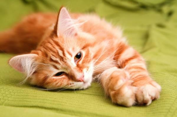 Демодекоз у кошек и котов, фото