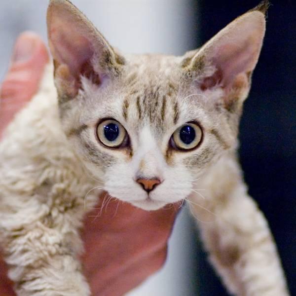 Изображение - Дисплазия тазобедренного сустава у котенка s97681022