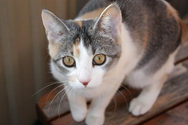 Камень в желчном пузыре у кошки