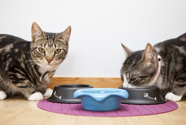Как откормить кота, чтобы он был толстым? Чем кормить кота, чтобы он набрал вес? Как помочь коту набрать вес