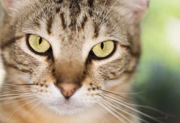 Как лечить абсцесс у кошек