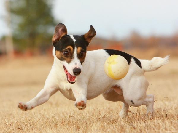 Видео лечения вывихов у собак