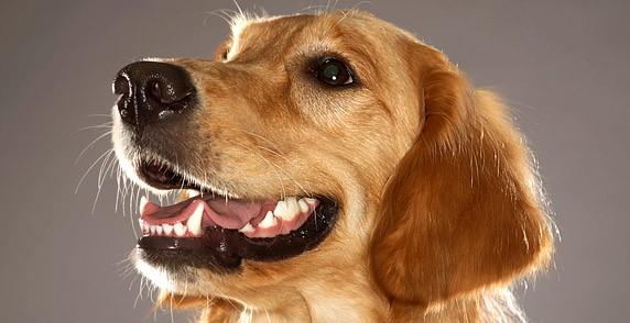 Пародонтит у собак – говорим о воспалении дёсен