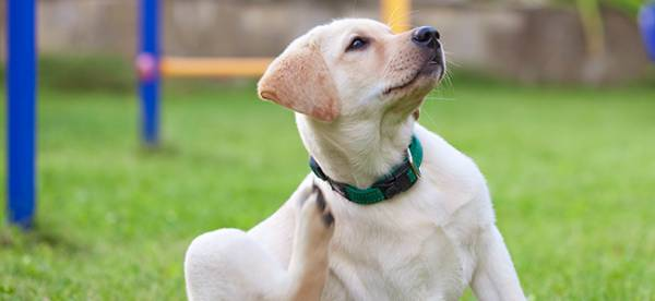 Атопия у собак серьезная и неприятная проблема