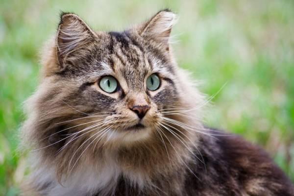 Можно ли кормить стерилизованную кошку обычным кормом