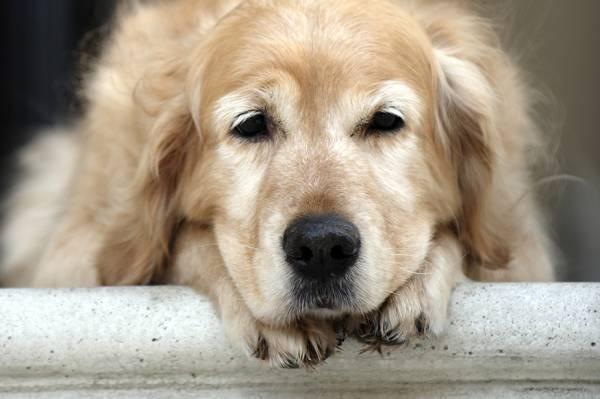 Артрит у собак симптомы лечение