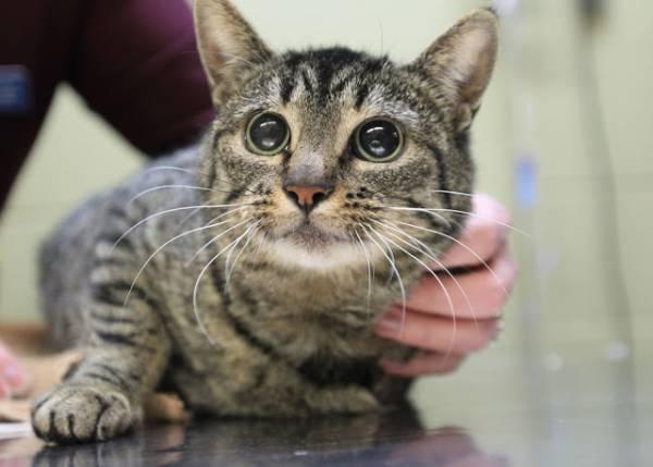 Хронический нефрит у кота лечение