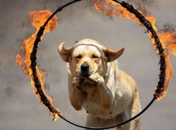 Ожоги подушечек у собаки