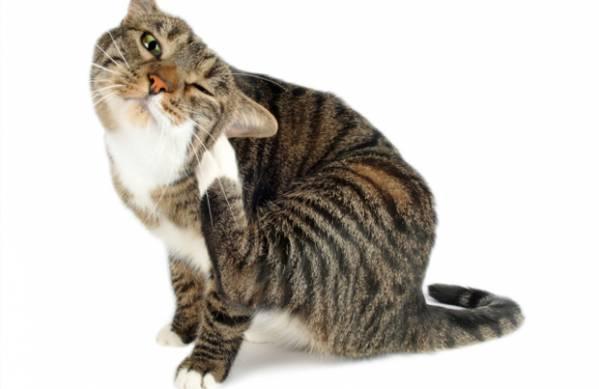 Как лечить подкожный клещ у кошек