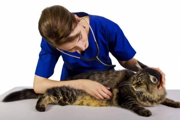 Заболевания печени у кошек - симптомы и лечение
