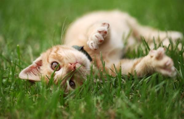 Народное средство от клещей для кошек