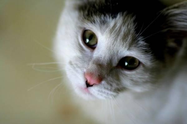 Заворот кишок желудка у кошки