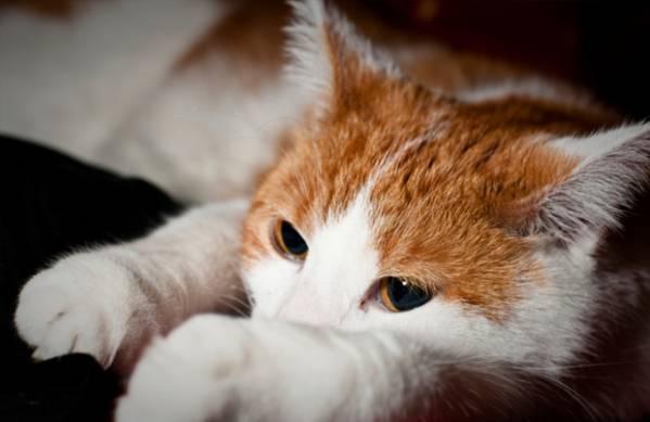 Иксодовые клещи у кошек