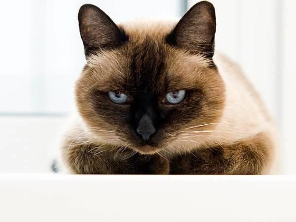 Кошачьи блохи опасны для человека или нет