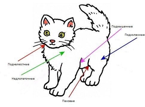 Как вылечить лимфоузел у кошки