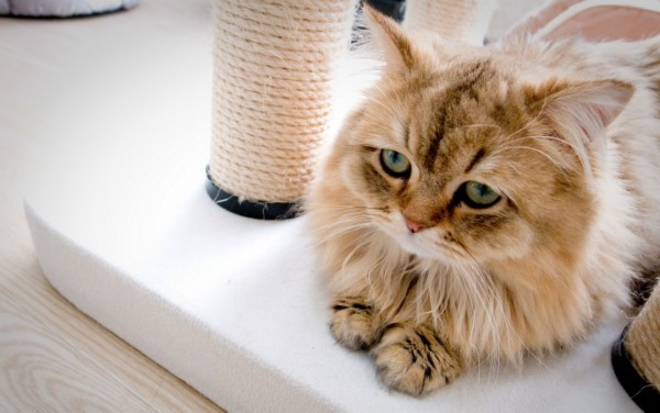 Вздутие желудка и живота у кошки