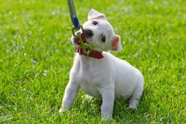 Как приучить собаку гулять рядом без поводка