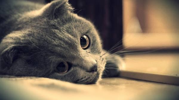 Ларинготрахеит  воспаление гортани и трахеи у кошек